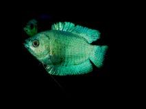 för teckningsfisk för akvarium svart linje white Royaltyfria Foton