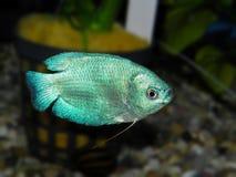 för teckningsfisk för akvarium svart linje white Anabantoidae familj Royaltyfri Fotografi