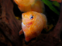 för teckningsfisk för akvarium svart linje white Cichlidaefamilj Royaltyfri Bild