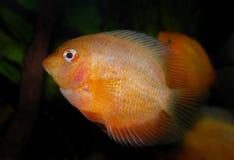 för teckningsfisk för akvarium svart linje white Cichlidaefamilj Royaltyfria Foton