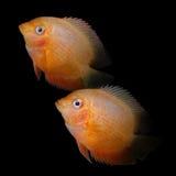 för teckningsfisk för akvarium svart linje white Cichlidaefamilj Royaltyfri Fotografi