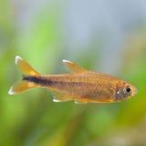 för teckningsfisk för akvarium svart linje white Rosy Tetra closeup, kopieringsutrymme Royaltyfria Bilder