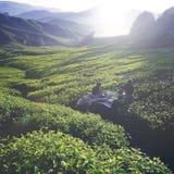 För tekoloni för te för skörd för gräsplan begrepp utomhus royaltyfri fotografi