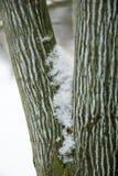 ` för tigrinna för Acer ` vit, Royaltyfri Foto