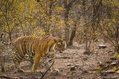 För Tigris för Panthera för closeup för Bengal tiger slinga korsning djungel på ranthambore arkivbilder