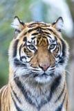 För tigris för Panthera för Sumatran tigerhuvud som stående sumatrae framåtriktat ser Arkivfoto