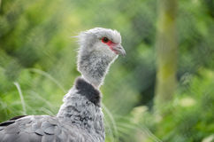 För Torquata för sydlig ScreamerfågelChauna huvud horisontalprofil Arkivfoton