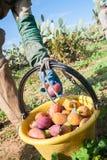 för trädgårds- tree för tid jordningsskörd för äpple mogen Royaltyfria Foton