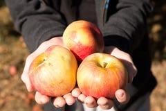 för trädgårds- tree för tid jordningsskörd för äpple mogen Arkivbilder