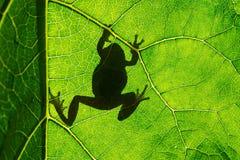 För trädgroda för europé grön arborea för Hyla på bladet i konturljus Arkivbilder