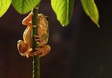 För trädgroda för europé grön för Hyla för arborea arborea för Rana förr Royaltyfri Fotografi