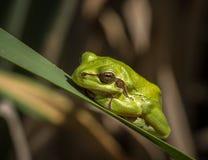 För trädgroda för europé grön arborea för Hyla i naturlig miljö Fotografering för Bildbyråer