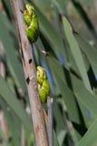 För trädgroda för europé grön arborea för Hyla i naturlig miljö Arkivfoton