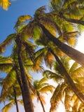 För trädsemesterort för natur ljus turism Puerto Rico för lopp för himmel för växt för kokosnöt Arkivfoton
