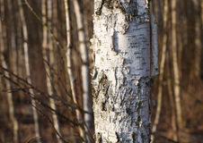 För trädstam för vit björk skog i bokehskogbakgrund arkivfoto