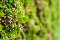 För trädThuja för vintergrön växt som occidetalis växer som väggen arkivfoto