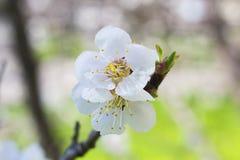 För trädvår för vit blomma makro arkivbild