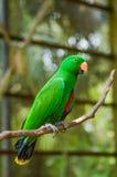 För Trichoglossushaematodus för REGNBÅGE LORIKEET fågel med suddighetsbakgrund Royaltyfri Fotografi