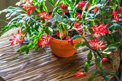 För Truncata för Schlumbergera för kaktus för ferie för krabba för kaktus för tacksägelse för julkaktus bakgrund U för delikat bl royaltyfria foton