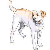 för trycksprutahund för vektor gul Labrador för avel Retriever Arkivfoto