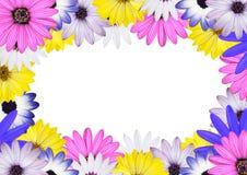 för tusenskönaosteospermum för backround center white Arkivbild
