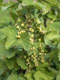För Tyskland för jordbruksprodukter för omogen rå röd för vita vinbär för vinbärväxt trädgård för frukt bio organisk sunt utomhus Royaltyfri Fotografi