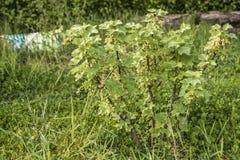 För Tyskland för jordbruksprodukter för omogen rå röd för vita vinbär för vinbärväxt trädgård för frukt bio organisk sunt utomhus Arkivbilder