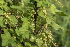För Tyskland för jordbruksprodukter för omogen rå röd för vita vinbär för vinbärväxt trädgård för frukt bio organisk sunt utomhus Arkivbild