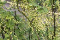 För Tyskland för jordbruksprodukter för omogen rå röd för vita vinbär för vinbärväxt trädgård för frukt bio organisk sunt utomhus Royaltyfri Foto