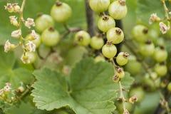 För Tyskland för jordbruksprodukter för omogen rå röd för vita vinbär för vinbärväxt trädgård för frukt bio organisk sunt utomhus Royaltyfria Bilder