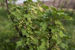 För Tyskland för jordbruksprodukter för omogen rå röd för vita vinbär för vinbärväxt trädgård för frukt bio organisk sunt utomhus Royaltyfri Bild