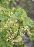 För Tyskland för jordbruksprodukter för omogen rå röd för vita vinbär för vinbärväxt trädgård för frukt bio organisk sunt utomhus Fotografering för Bildbyråer
