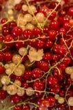 För Tyskland för jordbruksprodukter för röd för vit vinbär för bär för naturlig bakgrund trädgård för frukt bio organisk sunt uto Royaltyfria Foton