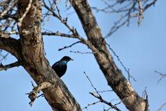 För uddestare för blå fågel glansiga nitens för lamprotornis, Sydafrika Royaltyfria Foton
