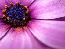 För uddetusensköna för sommar purpurfärgad blomma Royaltyfri Fotografi