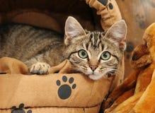 för underlag tabby för kattunge ner liggande Royaltyfria Bilder