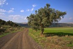 för vägtree för smuts olive spolning arkivbilder