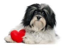 för vänvalp för hund havanese valentin Arkivbild