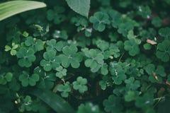 För växt av släktet Trifoliumgräsplan för tre blad fält Arkivbilder