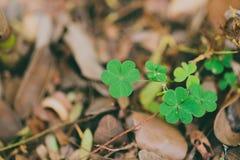 För växt av släktet Trifoliumgräsplan för tre blad fält Royaltyfria Bilder