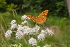 for för växt för fjärilsfallträdgård Royaltyfri Foto