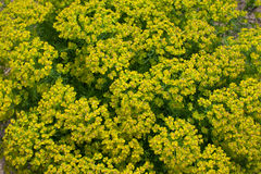 För växtcypress för naturlig bakgrund slut för spurge upp Royaltyfri Foto