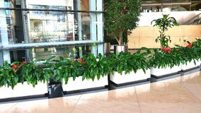 för växtrök för dracaena inomhus white Royaltyfri Fotografi
