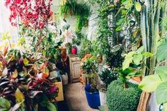 för växtrök för dracaena inomhus white royaltyfria bilder