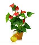 för växtsprejare för anthurium stor yellow Arkivfoton