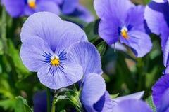 För vårblomma för purpurfärgad altfiol tricolor växt i parkera Royaltyfri Fotografi