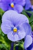 För vårblomma för purpurfärgad altfiol tricolor växt i parkera Royaltyfri Foto