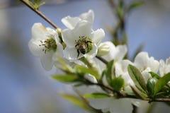För vårblomning för slut övre körsbär eller sött körsbärsrött träd Arkivbilder