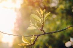 För våren eller fattar abstrakt naturbakgrund för sommar med gräsplan trädet för körsbärsröda blomningar, solljus i baksidan Eco  Royaltyfri Fotografi