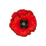 För vallmoblomma för vektor blommande closeup för röd blomning Arkivbilder